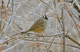 White crowned sparrow from Johnson's winter survey.