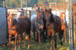 Wild Horse & Burro Adoption Event