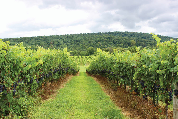 The vines require periodic hedging to control vigor. Photo by Brian Yost.