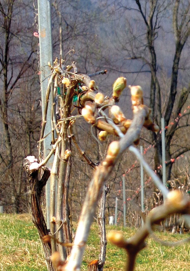 After the buds form, the shoots mature and grow leaves.