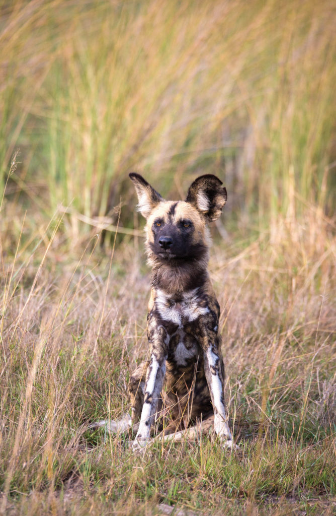 wild dogs are some of the most endangered animals belonging to the Okavango Delta ecosystem, with only an estimated 5,000 remaining in the world.