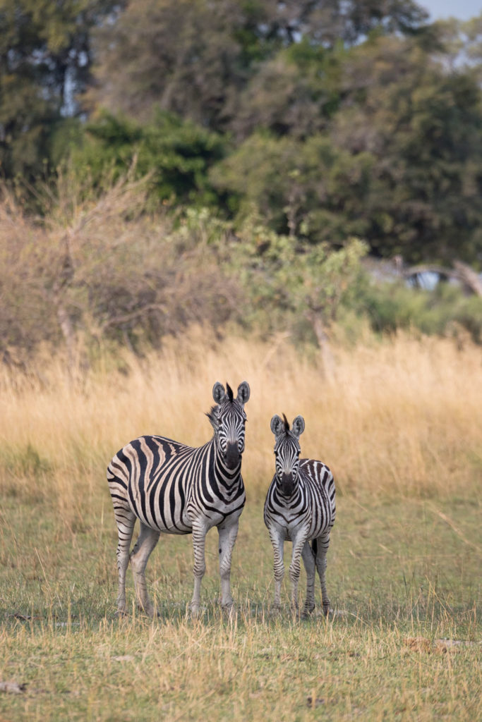By current estimates, Botswana is home to nearly 100,000 plains zebras, or 20% of the global population. The species is listed as Near Threatened on the International Union for Conservation of Nature (IUCN) Red List.