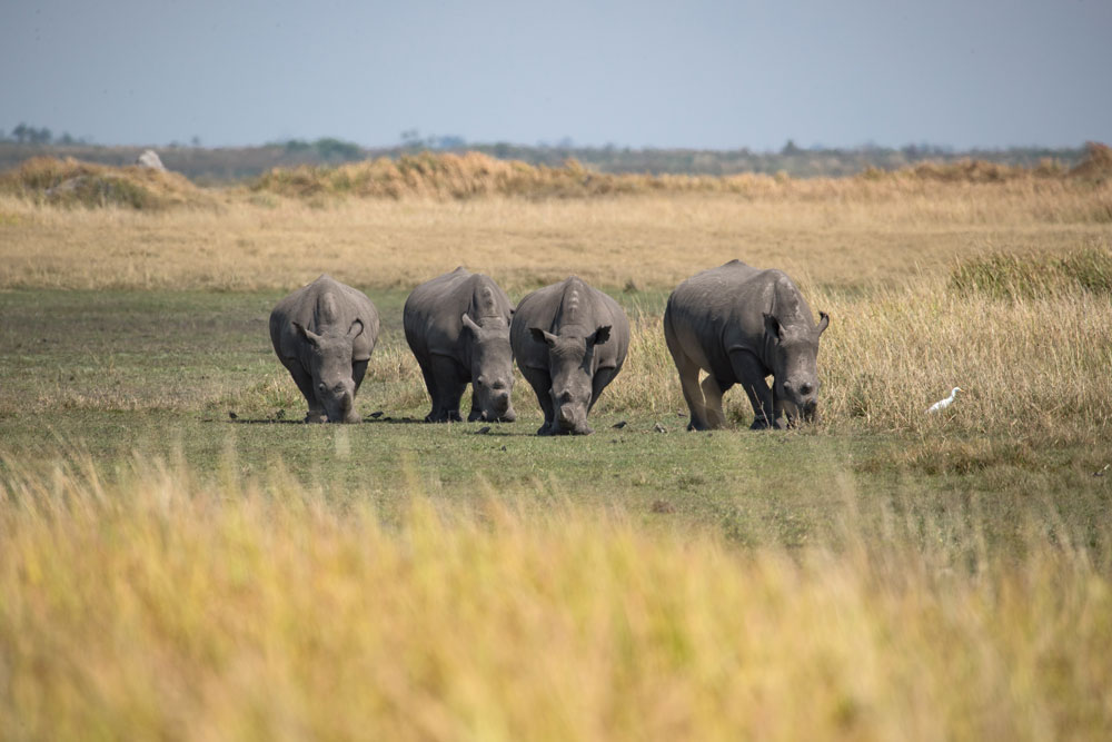 Four of the 87 rhinos moved to date, returned to their natural habitat in Botswana's Okavango Delta.
