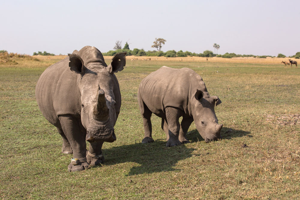 The gestation period for a white rhino is 16 months, and the calf will stay with its mother for about three years or until the next calf is born.